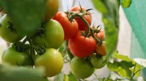 Vignette tomates rouges vertes